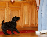 Diana's Kerries, Kerry Blue Terrier, Puppies, Puppy Personality Test