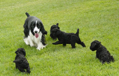 Diana's Kerries, Kerry Blue Terrier, Springer Spaniel, Madam