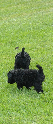 Diana's Kerries, Kerry Blue Terrier,