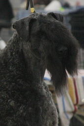 Diana's Kerries, Kerry Blue Terrier, CH Diana's Glory of Deaglan