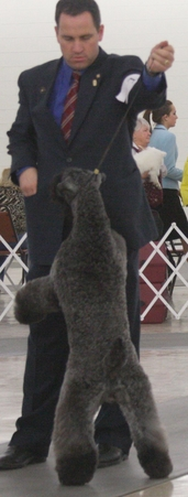 Diana's Kerries, Kerry Blue Terrier, CH Glory
