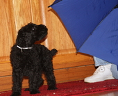 Diana's Kerries, Kerry Blue Terrier,  Puppy, Puppy Personality Test