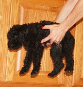 Diana's Kerries, Kerry Blue Terrier, Puppy Persona;i