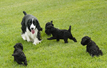 Diana's Kerries, Kerry Blue Terrier, Puppies, Springer Spaniel