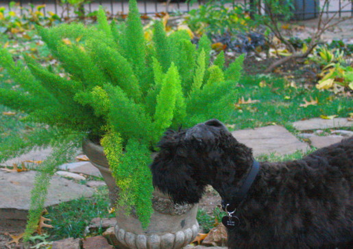 Kerry Blue Terrier Puppy