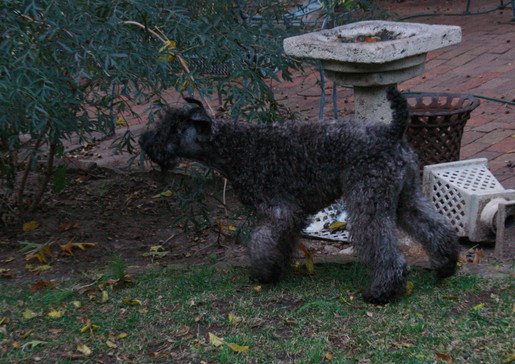 Squirrels Kerry Blue Terrier