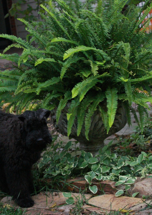 Kerry Blue Terrier Fern Plant Garden