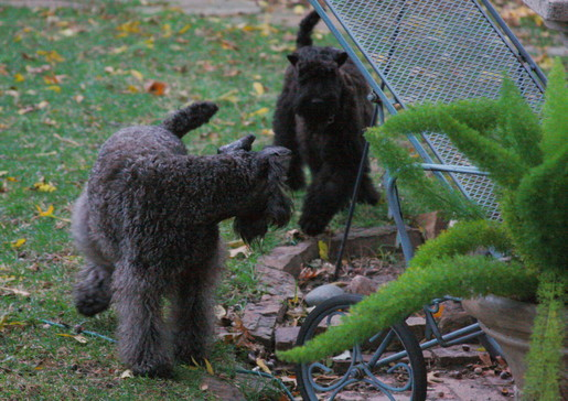 Kerry Blue Terrier Playing