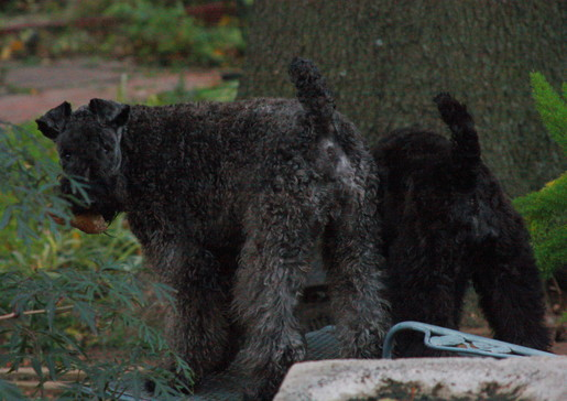 Female Kerry Blue Terrier